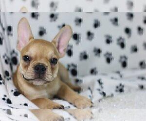 French Bulldog Puppy for sale in GLENCOE, IL, USA
