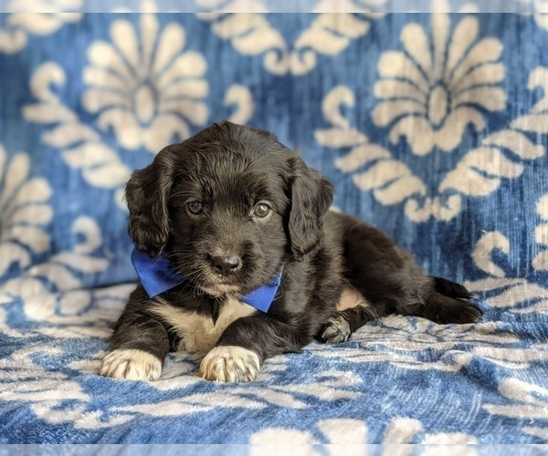 Medium Photo #6 Cocker Spaniel-Unknown Mix Puppy For Sale in CHRISTIANA, PA, USA