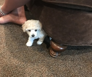 Poodle (Toy) Puppy for sale in BON AIR, VA, USA