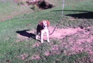 Beagle Dog For Adoption in NEW BLOOMFIELD, PA, USA
