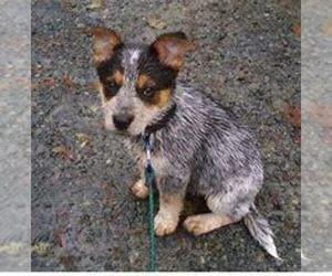 Australian Cattle Dog Puppy for sale in DETROIT, MI, USA