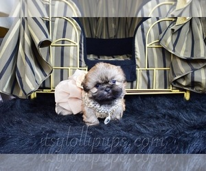 Shih Tzu Dog for Adoption in HAYWARD, California USA