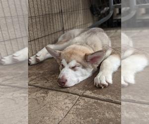 Alaskan Malamute Puppy for sale in GILROY, CA, USA