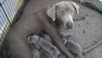 Labrador Retriever Puppy For Sale in OGDEN, UT