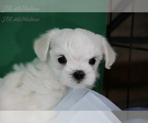 Maltese Dog for Adoption in Kakabeka Falls, Ontario Canada