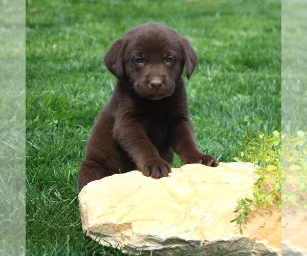 View Ad: Labrador Retriever Puppy for Sale near In Portugal