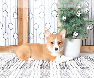 Medium Pembroke Welsh Corgi