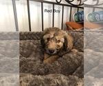Small #6 Sheepadoodle