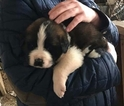 Saint Bernard Puppy For Sale in MINERAL POINT, WI