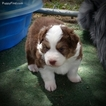 Australian Shepherd Puppy For Sale in WICKENBURG, AZ