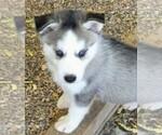 Small #3 Siberian Husky