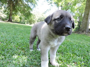 Anatolian Shepherd Puppy For Sale in ABITA SPRINGS, LA