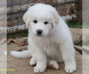Great Pyrenees Puppy for Sale in WOODSBORO, Maryland USA