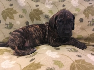 Great Dane Puppy For Sale in VERNAL, UT