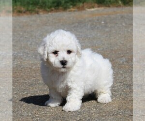 Medium Bichon Frise