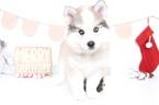 Huskimo Puppy For Sale in NAPLES, FL, USA