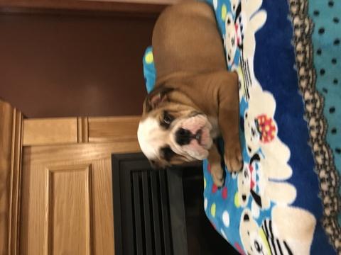 English Bulldogge puppy