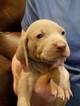 Weimaraner Puppy For Sale in BERESFORD, SD, USA