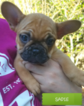 French Bulldog Puppy For Sale in BUFORD, GA, USA