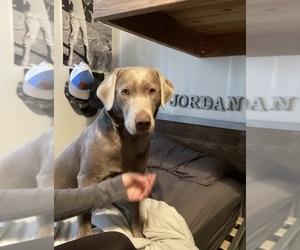 Labrador Retriever Puppy for sale in SACRAMENTO, CA, USA