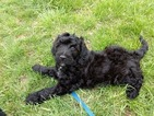 Goldendoodle Puppy For Sale in CROSSVILLE, Illinois,