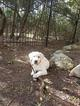 Labrador Retriever Puppy For Sale in SAN ANTONIO, TX, USA