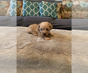 Poodle (Standard)-Schnoodle (Standard) Mix Puppy for sale in MADISON, AL, USA