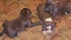 American Pit Bull Terrier Puppy For Sale in CHICAGO, IL