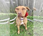 Small #113 American Staffordshire Terrier-Catahoula Leopard Dog Mix