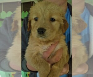 Golden Retriever Puppy for Sale in PAHRUMP, Nevada USA