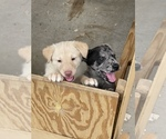 Small Husky-Labrador Retriever Mix