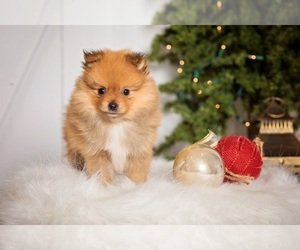 Pomeranian Puppy for sale in BENTON, MO, USA