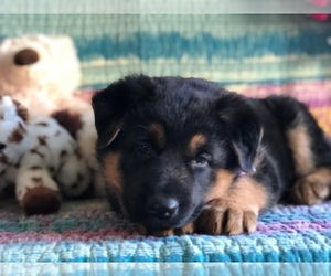 German Shepherd Dog Puppy for sale in CLAY, PA, USA