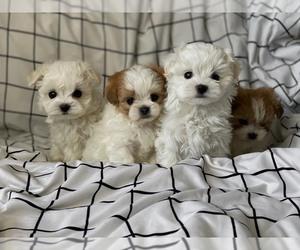 Maltese-Schip-a-Pom Mix Puppy for sale in Hostomel, Kyiv, Ukraine