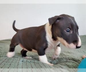 Bull Terrier Puppy for sale in BUCKLIN, KS, USA