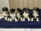 English Shepherd Puppy For Sale in LEBANON, KY, USA