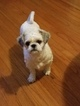 Shih Tzu Puppy For Sale in NEWARK, NJ