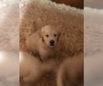 Golden Retriever Puppy For Sale in EASTON, MA, USA