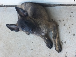 Dutch Shepherd Dog-German Shepherd Dog Mix Puppy for sale in ENGLEWOOD, CO, USA
