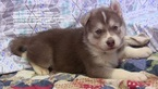 Red and White  AKC Siberian Husky pups