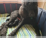 Small Photo #12 Poodle (Standard) Puppy For Sale in DYERSBURG, TN, USA