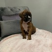 Boxer Puppy For Sale in NORCO, CA, USA
