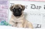 Layla Beautiful Female Pug Puppy