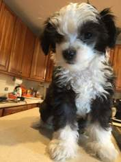 Chinese Crested Puppy For Sale in BENSENVILLE, IL