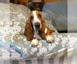 Image preview for Ad Listing. Nickname: AKC pups male/f