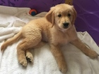 Golden Retriever Puppy For Sale in LANSING, MI, USA