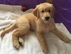 Golden Retriever Puppy For Sale in LANSING, MI,