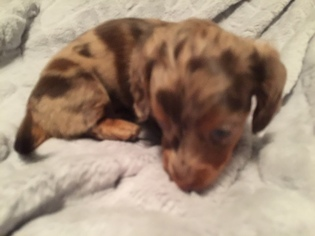 Dachshund Puppy for sale in BRANDON, FL, USA