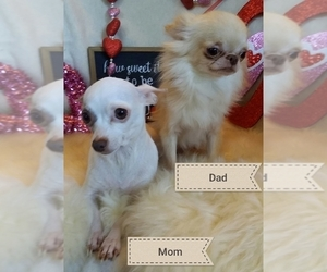 Father of the Chihuahua puppies born on 12/12/2019