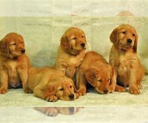 Golden Retriever Puppy for sale in MISHAWAKA, IN, USA